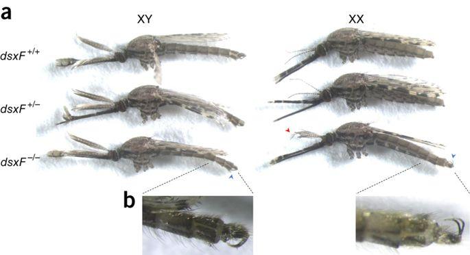 Mutant Female Mosquitoes